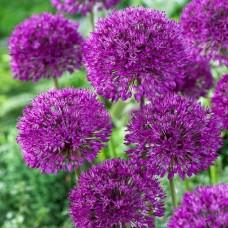 Аллиум Purple Sensation