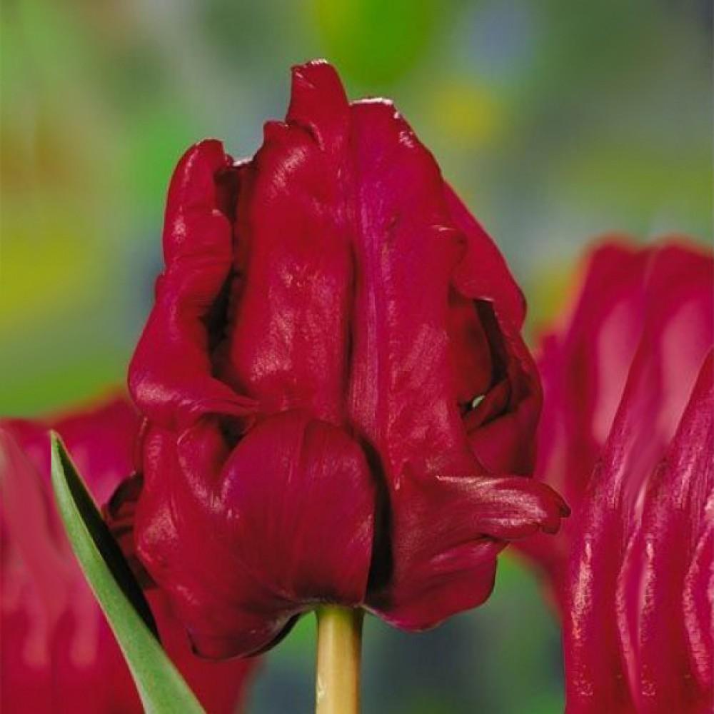 Тюльпан Red Cap