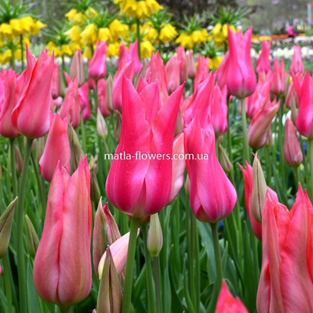 Тюльпан Mariette