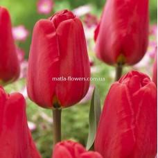 Тюльпан Apeldoorn