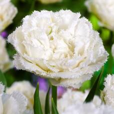 Тюльпан Snow Crystal
