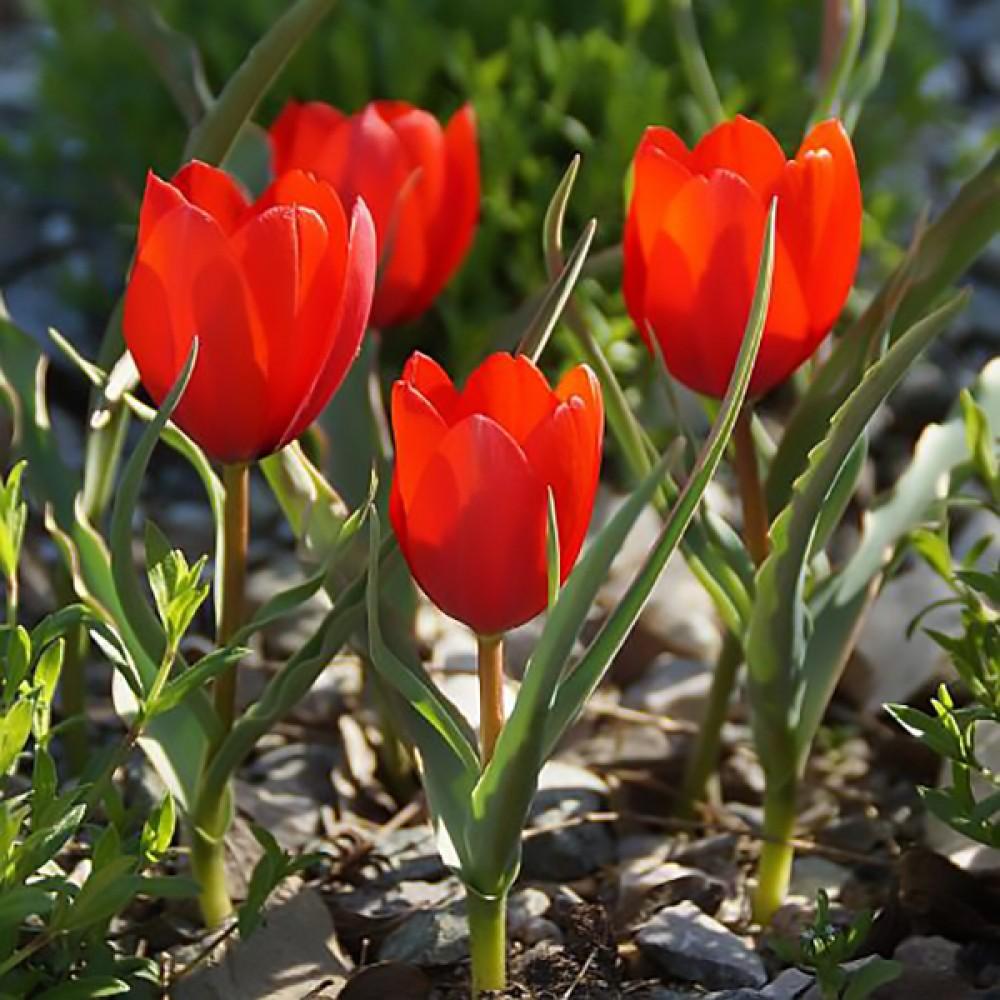 Тюльпан Wilsoniana