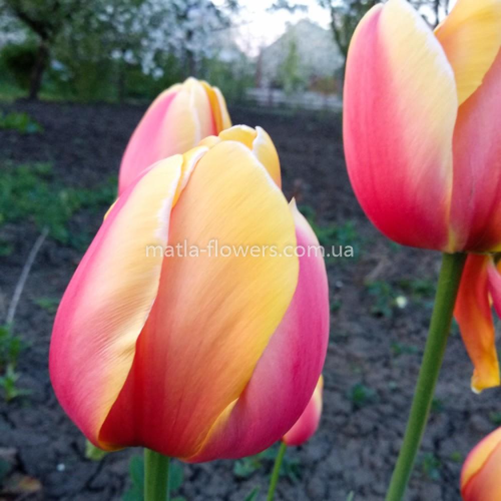 Тюльпан World Peace