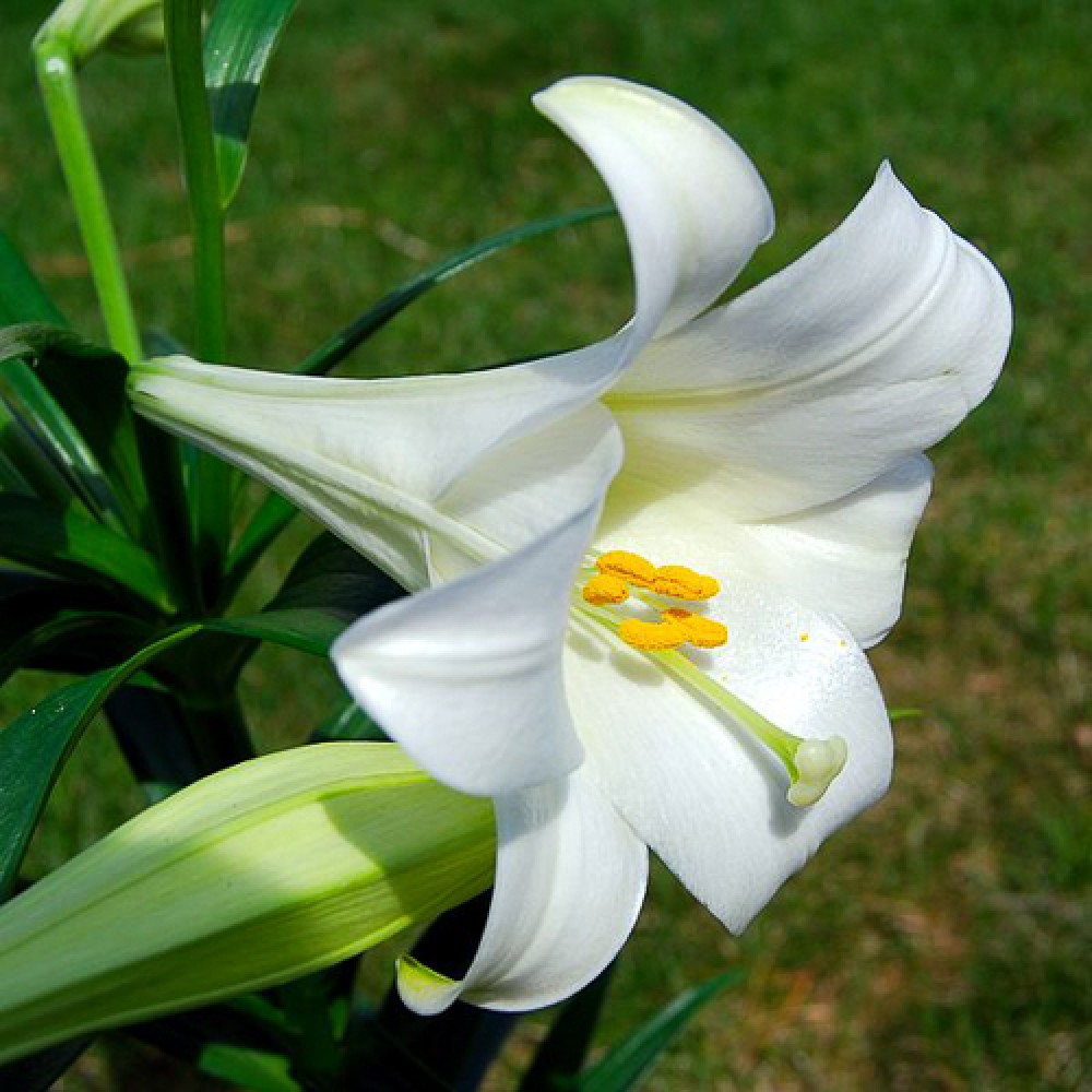 Лілія White Triumph
