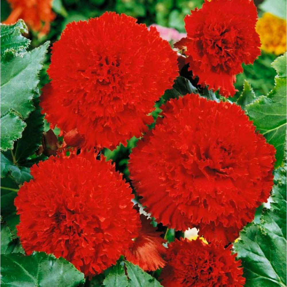 Бегонія Fimbriata Red