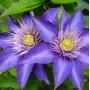 Клематіс Multi Blue