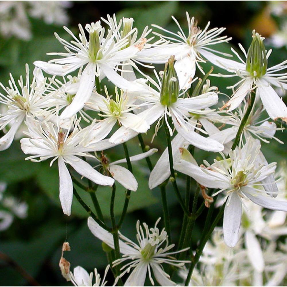 Клематіс Terniflora