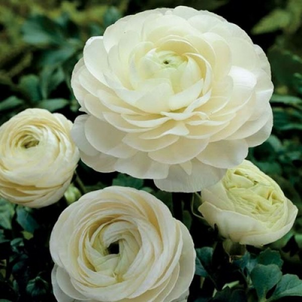 Лютик Ranunculus Aviv With