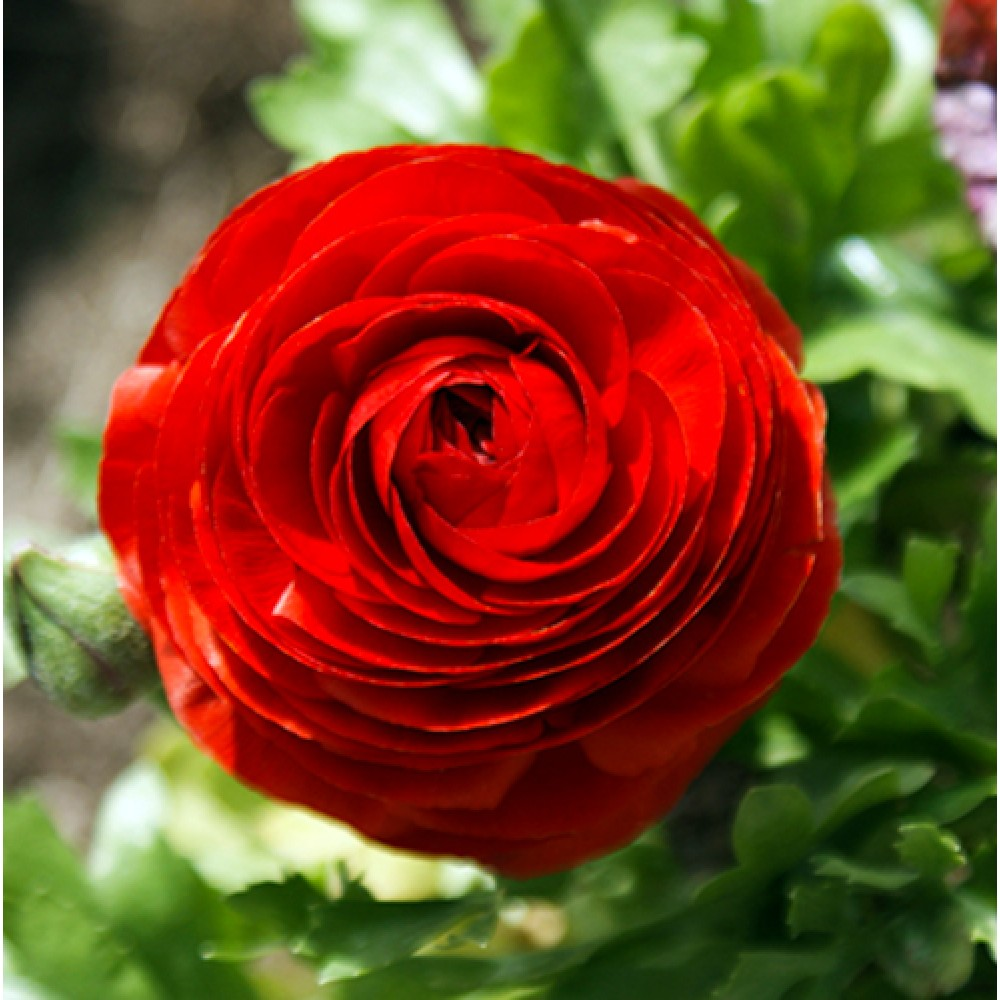 Лютик Ranunculus Aviv Red
