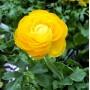 Лютик Ranunculus Aviv Yellow