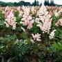 Астільба Peach Blossom