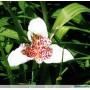Тігрідія Alba Grandiflora
