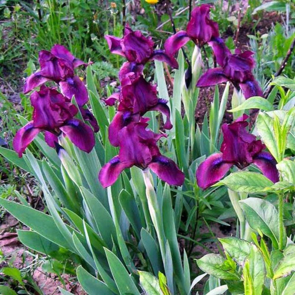 Ірис Pumila Cherry Garden
