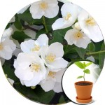 Садовий жасмин (4)