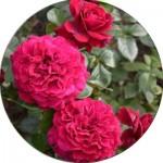 Грунтопокривні троянди (6)