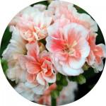 Насіння кімнатних квітів (43)