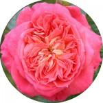 Кордес троянди (16)