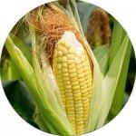 Насіння кукурудзи (23)