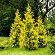 Туя Golden Brabant p9