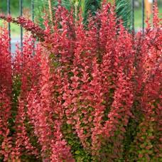 Барбарис Red Coral С1,5