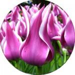 Тюльпани Лілієподібні