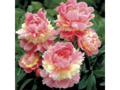 Чому не цвіте півонія після пересадки