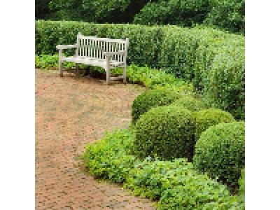 Які вічнозелені чагарники вибрати для живоплоту
