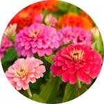 Насіння однорічних квітів (204)