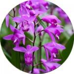 Орхідеї ВКС