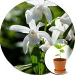 Садова орхідея в горщиках