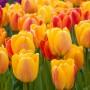 Тюльпан Beauty of Apeldoorn