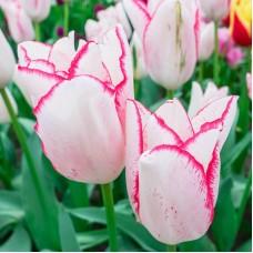 Тюльпан Beautytrend