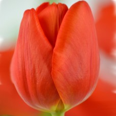 Тюльпан Cadans