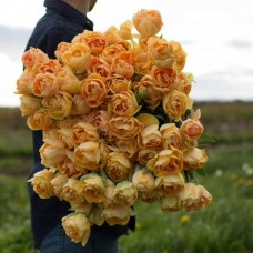 Тюльпан Charming Beauty (Zantucharme)