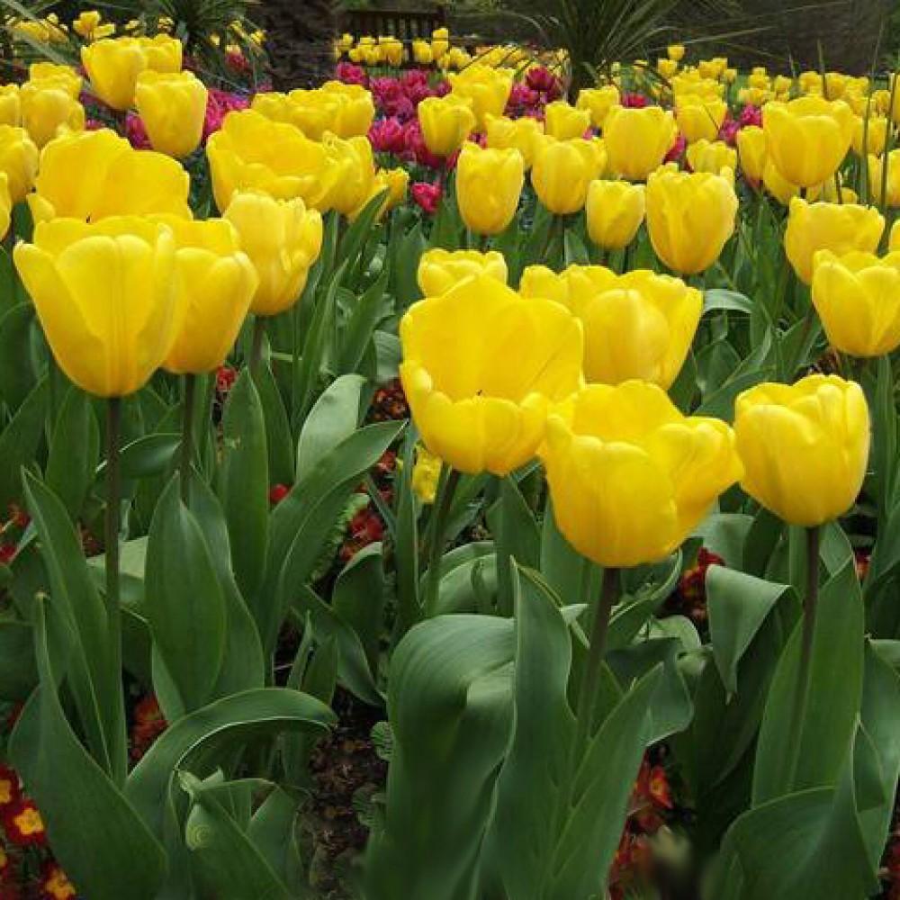Тюльпан Golden Oxford