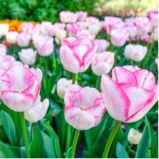 Тюльпан Graceland