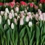 Тюльпан Haiti