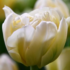 Тюльпан Ippon