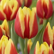 Тюльпан Jan Seignette