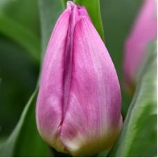 Тюльпан Light Pink Prince