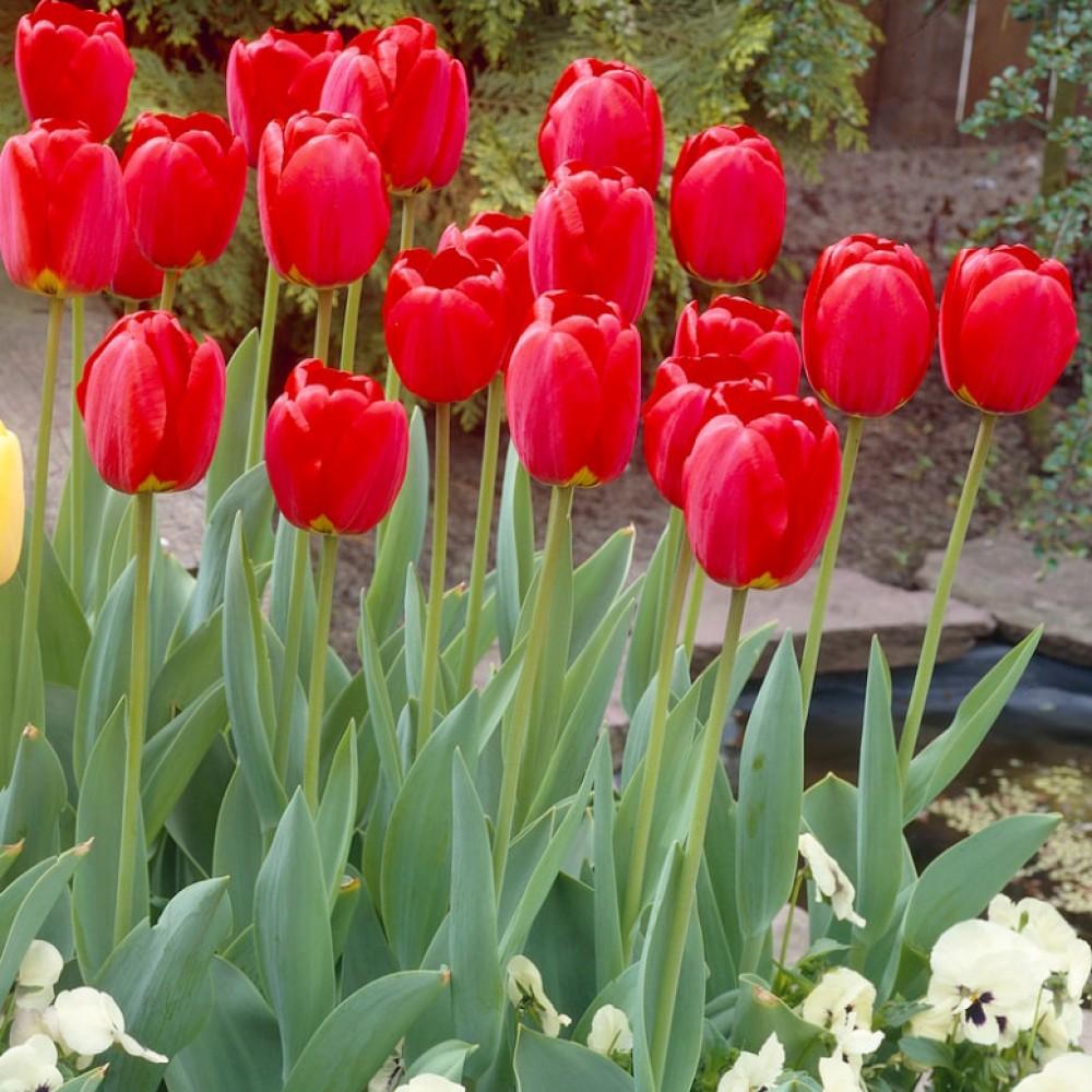 Тюльпан Oxford