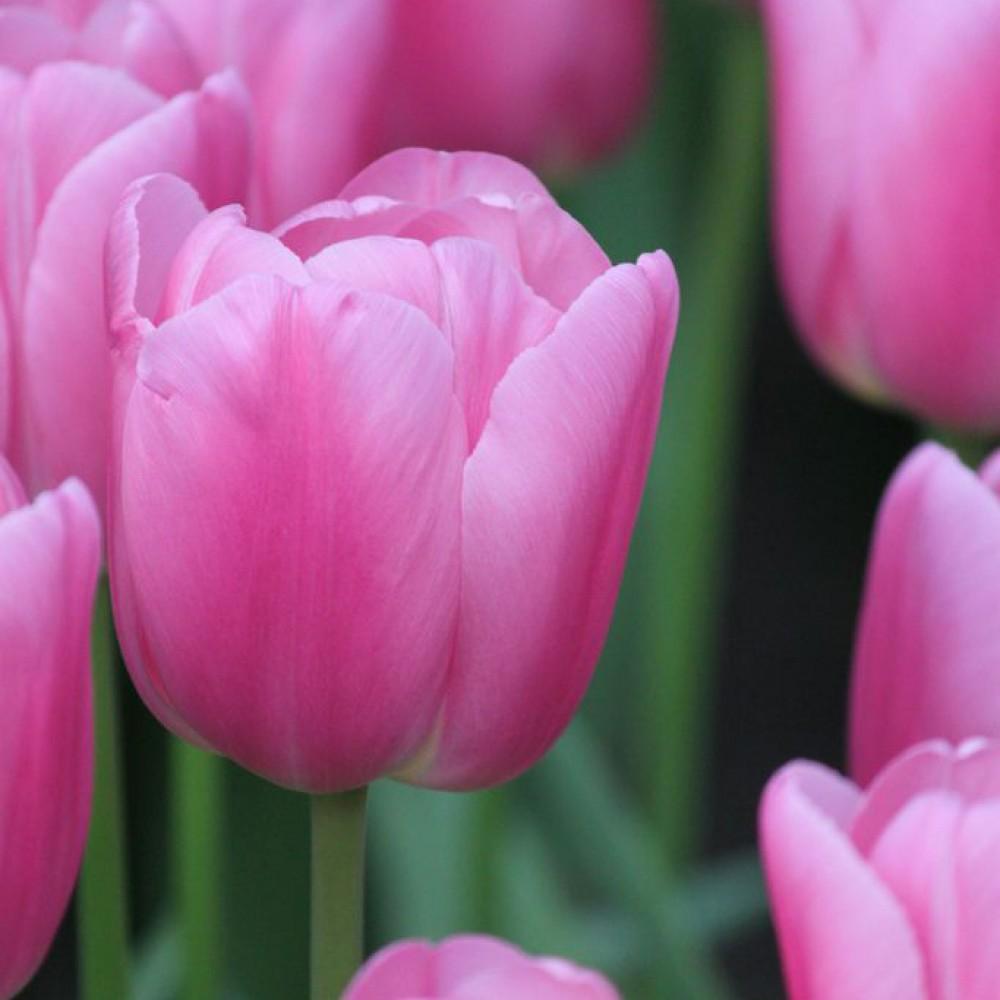 Тюльпан Pink Twist