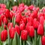 Тюльпан Red Label