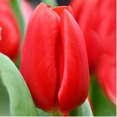 Тюльпан Red Light