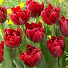 Тюльпан Scarlet Verona