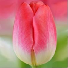 Тюльпан Supermodel