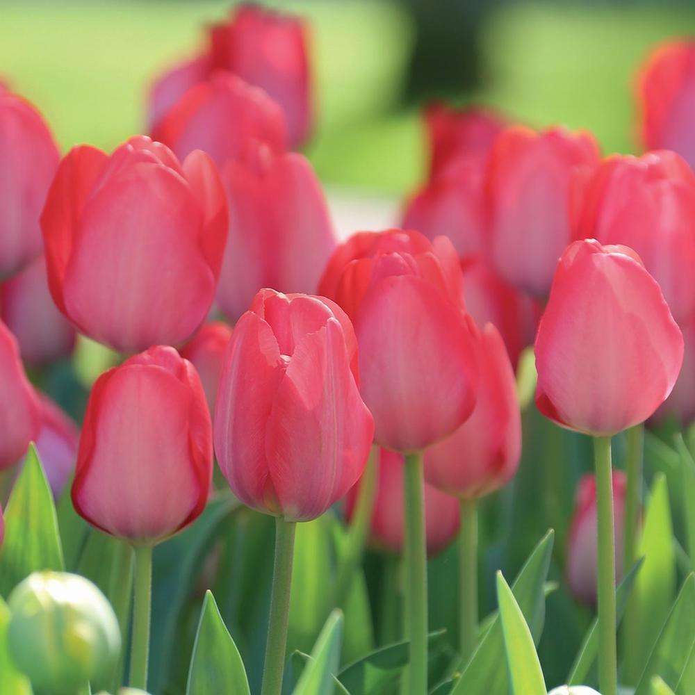 Тюльпан Van Eijk