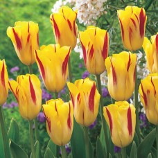 Тюльпан Washington
