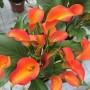 Калла в горшке Orania