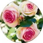 Плетисті троянди (27)